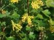 Kanadische Goldjohannisbeere unbewurzelter Steckling