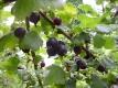 JOCHELBEERE (Ribes nidigrolaria)unbewurzelter Steckling