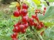Johannisbeere Heinemanns rote Spätlese unbewurzelter Steckling