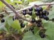 Schwarze Johannisbeere Titania unbewurzelter Steckling