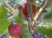 Stachelbeere Captivator Red unbewurzelter Steckling