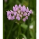 Kantenlauch Allium angulosum Samen