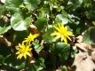 Scharbockskraut Pflanze