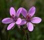 Reiherschnabel Erodium cicutarium Pflanze