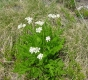 Bärwurz Meum athamanticum Pflanze