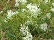 Zahnstocherkraut Pflanze