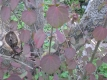 Lebkuchenbaum Pflanze