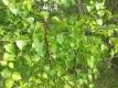 Weißbirke Betula pendula Pflanze