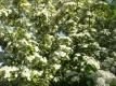 Zweigriffeliger Weißdorn Crataegus laevigata Pflanze