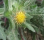 Benediktenkraut Cnicus benedictus Pflanze