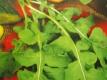 Italienische Salatrauke Pflanze
