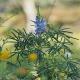 Blaue Süßlupine Tango Pflanze