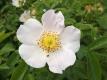 Hundsrose Rosa canina Pflanze