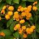 Orangerotes Habichtskraut Pflanze