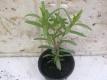 Yauthli Tagetes lucida Pflanze