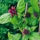 Echter Gewürzstrauch Calycanthus floridus Pflanze