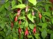 Gartenfuchsie Riccartonii Fuchsia magellanica Pflanze