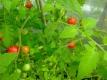 Tomate Columbian Wildtomate Samen