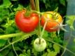 Tomate Veni Vidi Vici Samen