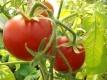 Tomate Roter Rubinius Samen