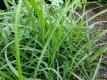 Zitronengras Cymbopogon citratus Pflanze