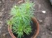 Lakritztagetes Tagetes filifolia Pflanze
