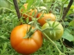 Tomate Morkownji Samen