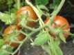 Tomate Cerise Samen