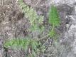 Wilde Möhre Daucus carota ssp. Carota Samen