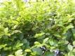 Goldliguster Aureum Pflanze
