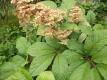 Schaublatt Kastanienblättriges Samen