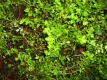 Cranberry Vaccinium macrocarpon Pflanze