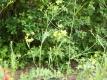 Chinesisches Hasenohr Samen