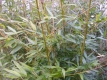 Schirmbambus Great Wall Pflanze